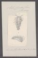 Eolis cuvieri - - Print - Iconographia Zoologica - Special Collections University of Amsterdam - UBAINV0274 091 13 0009.tif