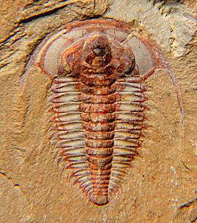 Redlichiida Extinct order of trilobites