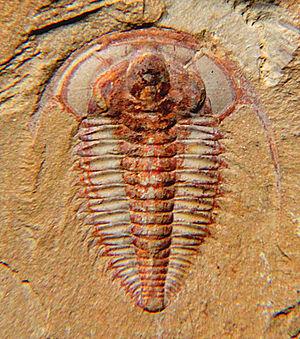 Redlichiida - Eoredlichia intermedia, 15mm
