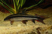 Flying fox (fish) - Wikipedia