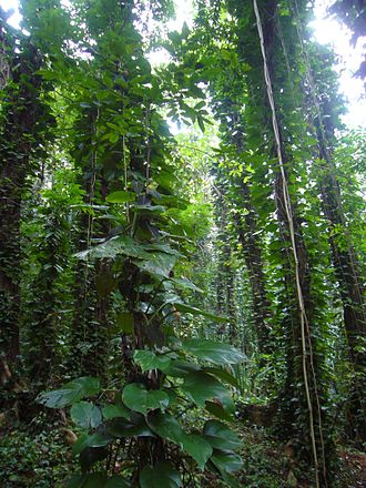 Udawattakele Forest Reserve - Devil's Ivy infestation in Udawattakele