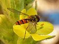Episyrphus balteatus - Hainschwebfliege II.jpg