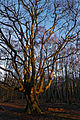Epping Forest High Beach Waltham Abbey Essex England - trees 03.jpg