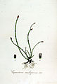 Equisetum multiforme — Flora Batava — Volume v7.jpg
