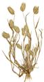 Eremopyrum bonaepartis E00365918.png