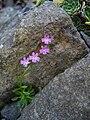 Erinus alpinus 'Picos de Europa' 2.JPG