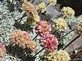 Eriogonum ovalifolium - Flickr - pellaea.jpg