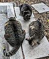 Ernest Hemingway House cats 2019.jpg