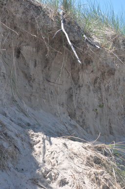 Erosion of Dunes at beach in Pinery Provincial Park