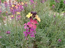 meaning of erysimum