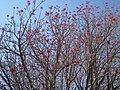 Erythrina americana ( Hernán García Crespo) 001.jpg