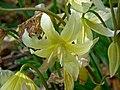 Erythronium californicum 2.jpg
