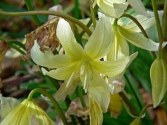 Erythronium - Image: Erythronium californicum 2
