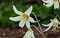 Erythronium tuolumnense White Beauty. Locatie, Tuinreservaat Jonkervallei 01.jpg