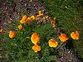 Eschscholzia californica 'californian poppy' 2007-06-02 (plant).jpg