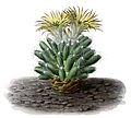 Escobaria missouriensis ssp missouriensis BlKakteenT145.jpg