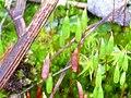 Esporangios Bryum pseudotriquetrum 2010-3-21 SierraMadrona.jpg