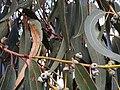 Eucalyptus bicostata IMG 20171029 170233 (24180546358).jpg