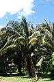 Eugeissona utilis -JB Bogor - P1000417.jpg