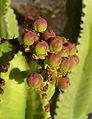 Euphorbia candelabrum 004.JPG