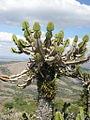 Euphorbia cooperi1.jpg