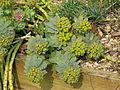 Euphorbia myrsinites reddish form (16822000536).jpg