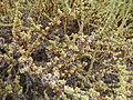 Euphorbia sur les dunes.JPG