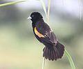 Euplectes axillaris, Linunga, Birding Weto, a.jpg
