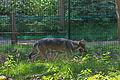 Europäischer Grauwolf (Canis lupus lupus) im Wolfcenter Barme (Dörverden) IMG 9117.jpg