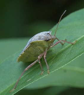 <i>Euschistus servus</i> species of insect