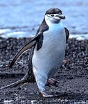 Excursion No. 12. into the old caldera of Deception Island.Chinstrap Penguins (Pygoscelis antarcticus). (26015647335).jpg