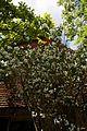 Exochorda at Newgate Street Hatfield Hertfordshire England.jpg
