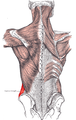 External oblique posterior.PNG