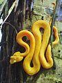 Eyelash viper (Bothriechis schlegelii) (8038937662).jpg