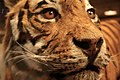 Eyes of the tiger (3076715696).jpg
