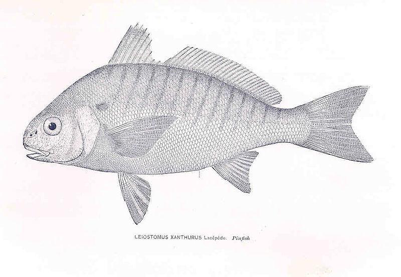 File:FMIB 33338 Leiostomus Xanthurus (La Cepede, M le comte de (Bernard Germain Etienne de La Ville sur Illon), 1756-1825).jpeg