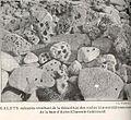FMIB 36921 Galets Calcaires Resuultant de la Demolition des Roches Kimmerdigiennes a Polypiers de la Baie d'Aytre (Charente-Inferieure).jpeg