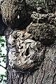 Fagales - Quercus robur - 021.jpg