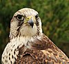 Falco cherrug cherrug (Gray, 1834).jpg