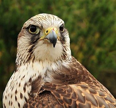 Falco cherrug cherrug