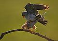 Falco vespertinus 4 (Martin Mecnarowski).jpg