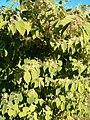 Fallopia japonica Habitus BotGardBln0906.JPG
