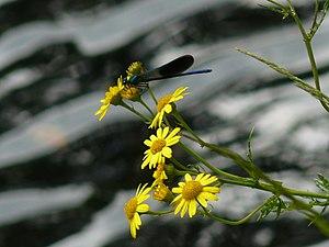 Fauna y flora del río Ladra, Club Fluvial de Begonte.jpg