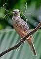 Fawn Breasted Bowerbird.jpg