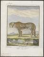 Felis pardus - 1700-1880 - Print - Iconographia Zoologica - Special Collections University of Amsterdam - UBA01 IZ22100224.tif