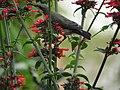 Female Purple Sunbird Drinking Nectar 03.jpg