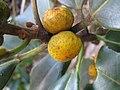 Ficus rubiginosa 2.jpg