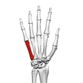 Fifth metacarpal bone (left hand) 02 dorsal view.png
