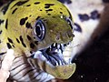 Fimbriated moray (Gymnothorax fimbriatus) (44046443464).jpg