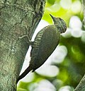 Fine-banded woodpecker - Uganda H8O5627 (16222878628) (cropped).jpg